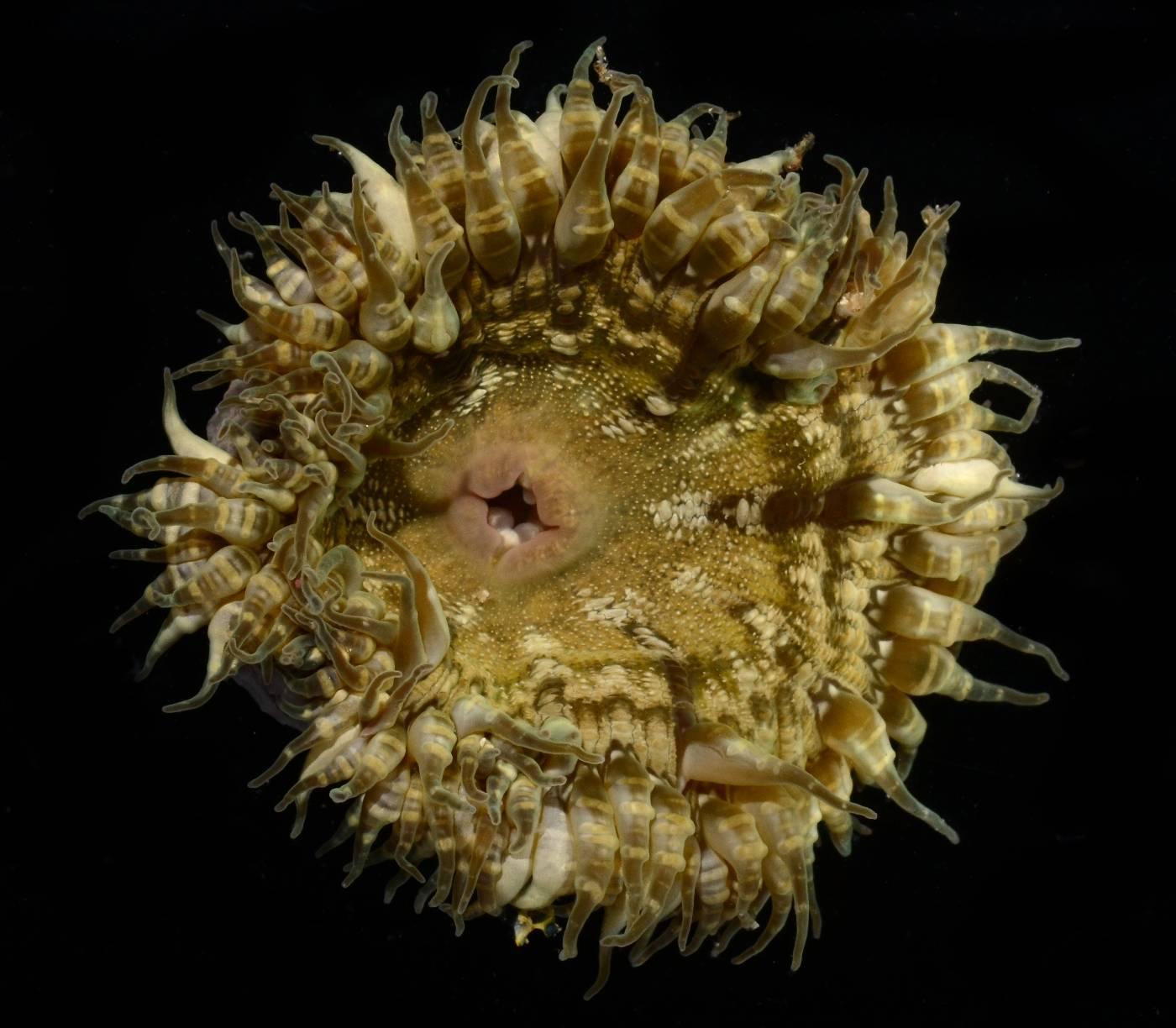 Phymanthidae image