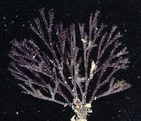 Image of Bugula neritina