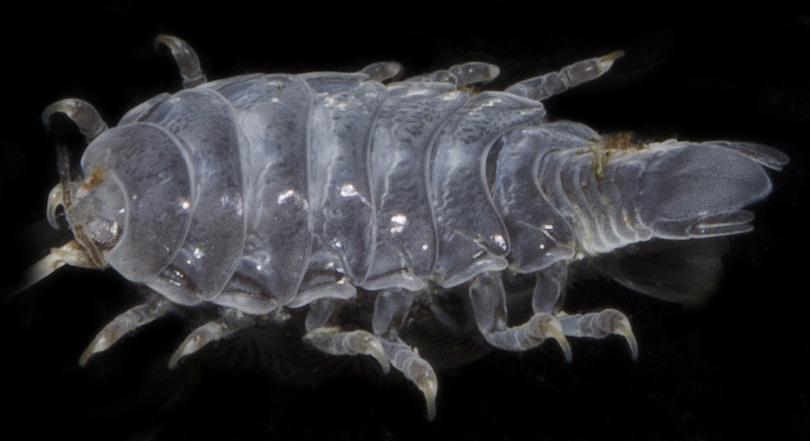 Cymothoidae image