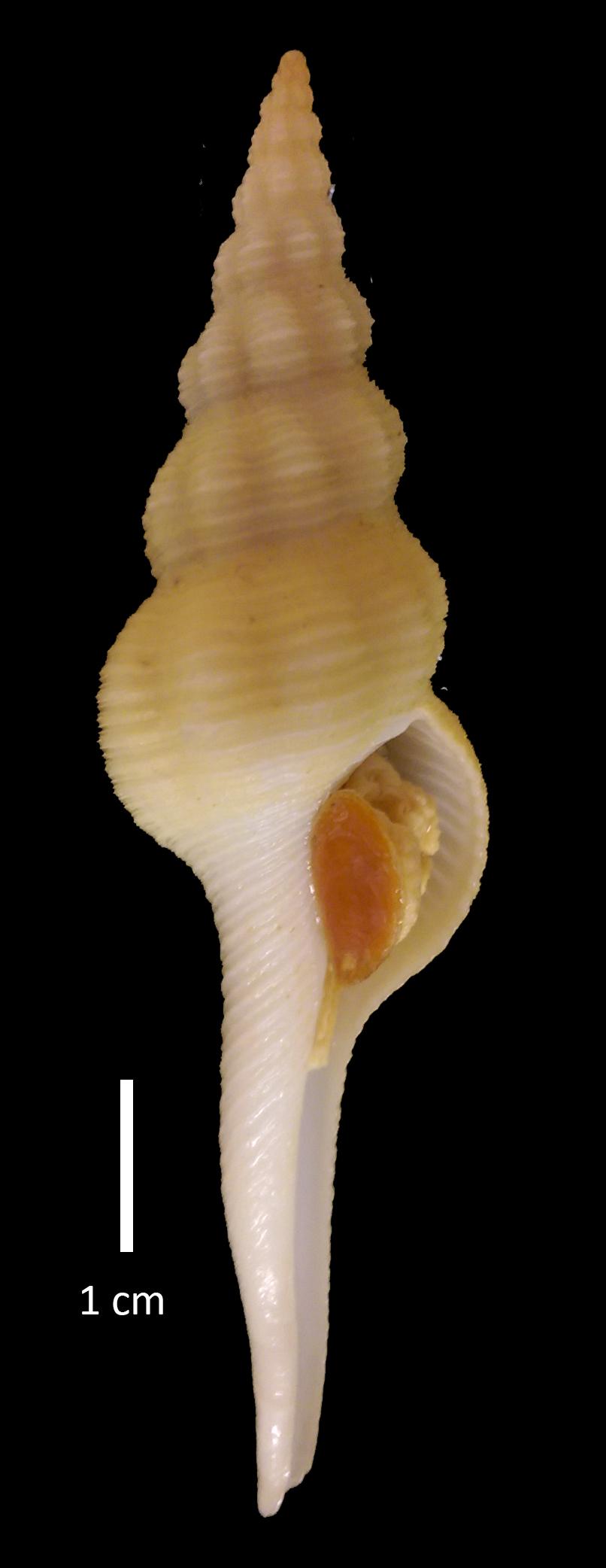 Fusinus image