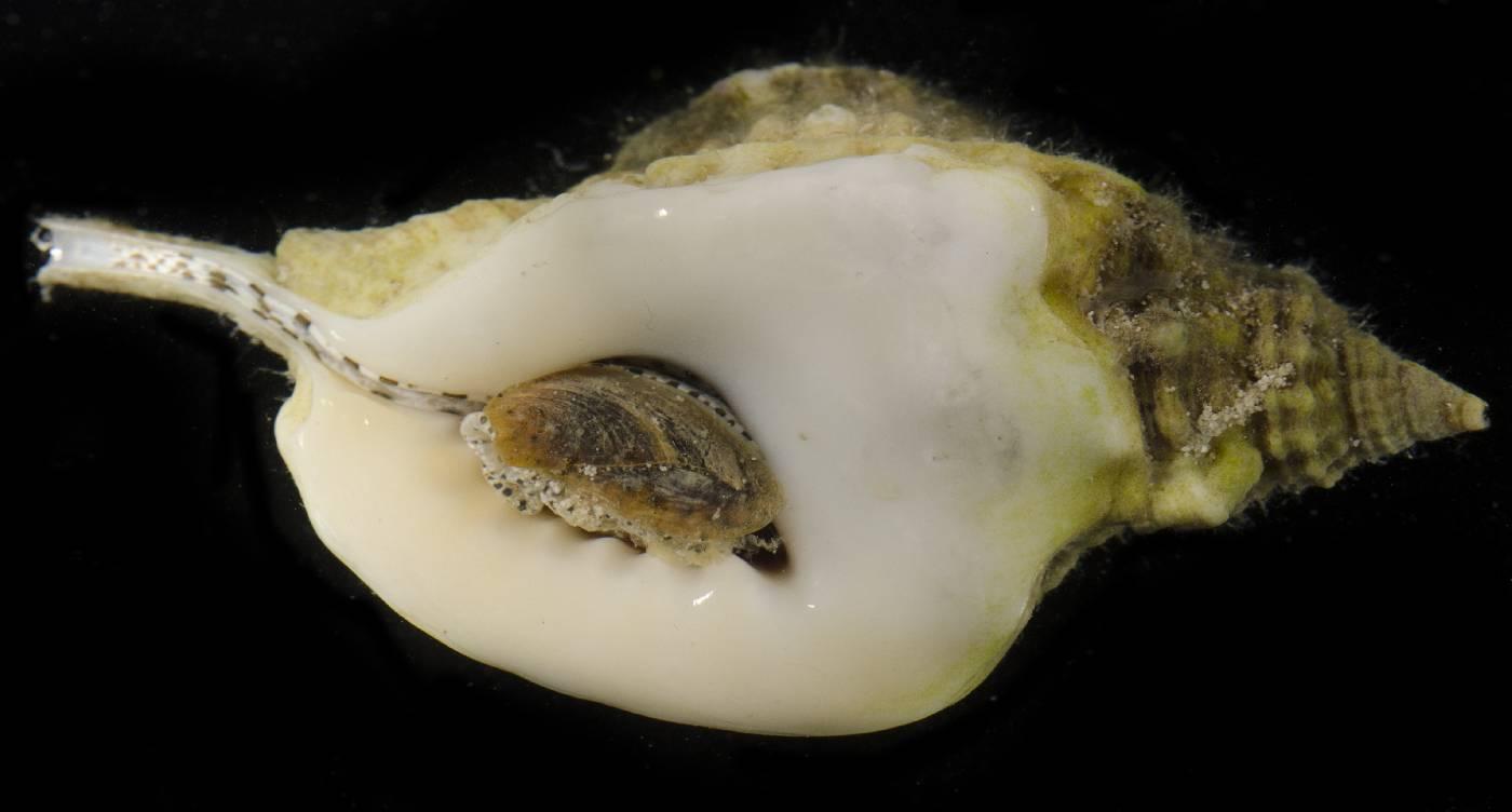 Cymatium muricinum image
