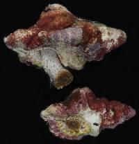 Image of Cymatium nicobaricum