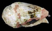 Image of Conus abbreviatus