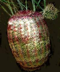 Echinocereus rigidissimus image