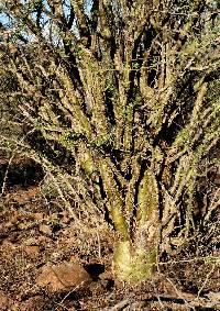 Fouquieria macdougalii image