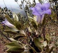Image of Leucophyllum mojinense