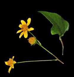Image of Aldama cordifolia