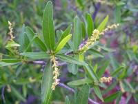Image of Sebastiania bilocularis