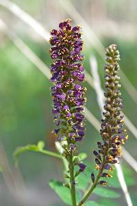 Image of Amorpha fruticosa