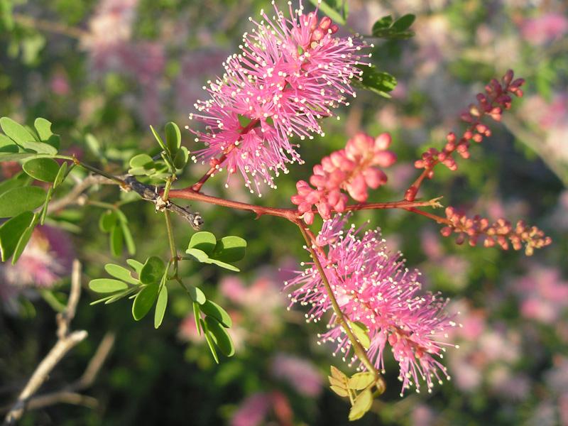 Mimosa image