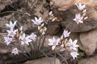 Allium macropetalum image