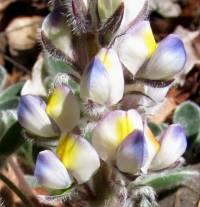 Image of Lupinus huachucanus