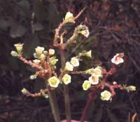 Image of Euphorbia cymosa