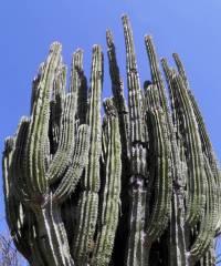 Pachycereus pecten-aboriginum image