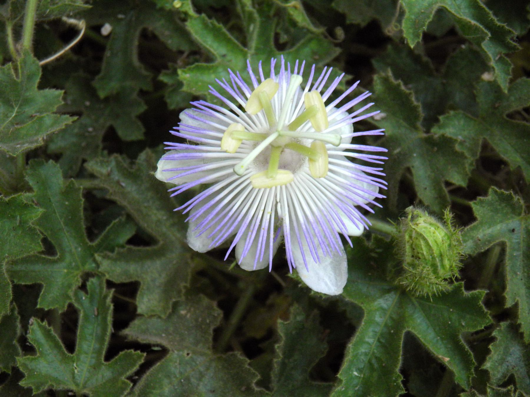Seinet Portal Network Passiflora Arizonica