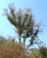 Image of Albizia sinaloensis