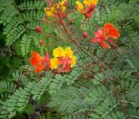 Image of Caesalpinia pulcherrima