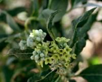 Image of Buddleja sessiliflora