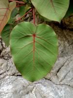 Image of Ficus petiolaris