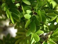 Guaiacum coulteri image