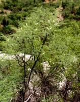 Image of Acacia russelliana