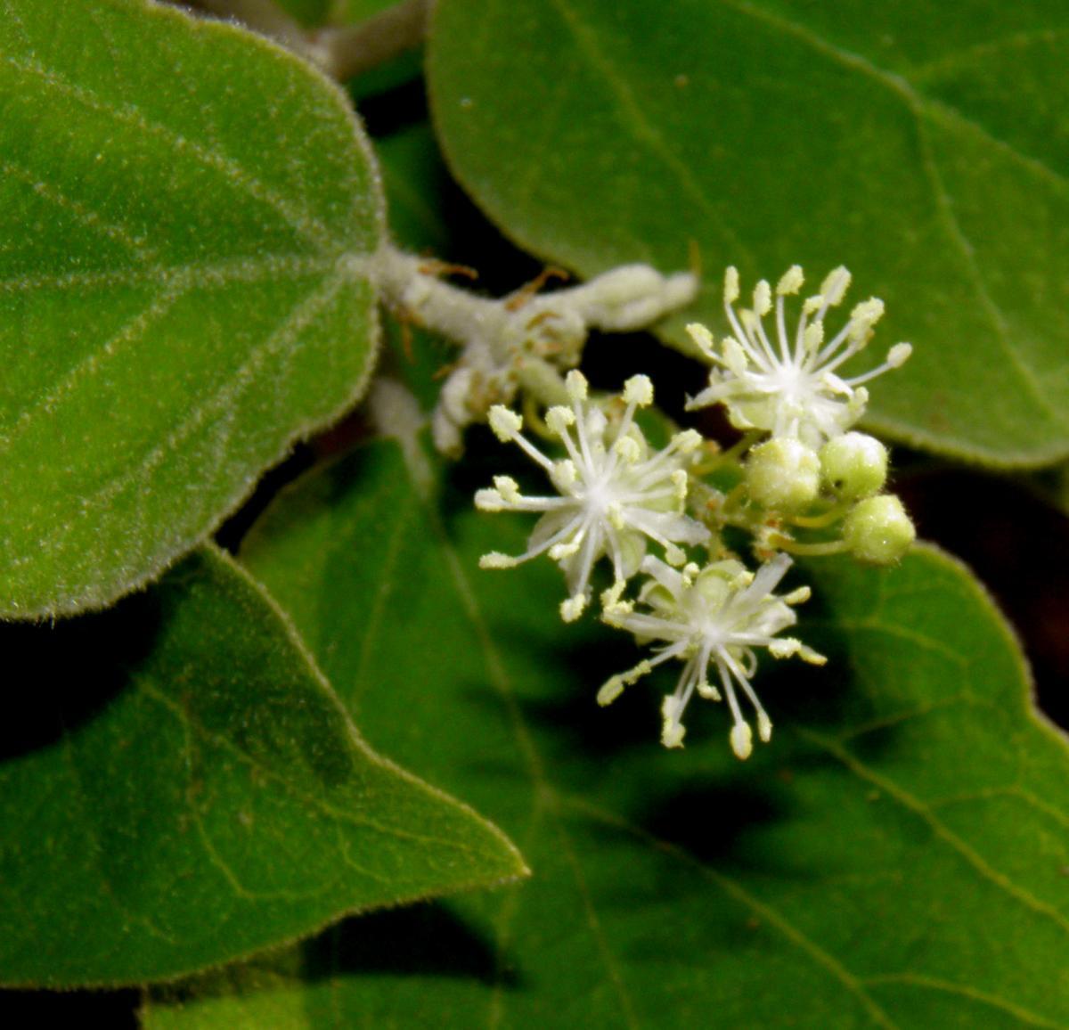Croton flavescens image
