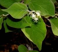 Image of Croton flavescens