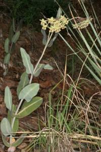 Asclepias elata image