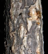 Ibervillea fusiformis image