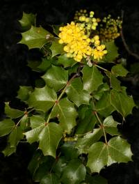 Image of Berberis wilcoxii