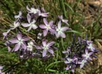 Image of Amsonia grandiflora