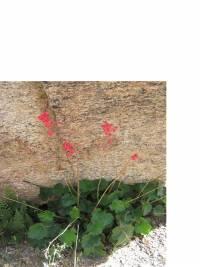 Heuchera sanguinea image