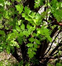 Image of Bursera laxiflora
