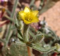 Image of Mentzelia affinis