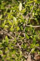 Image of Esenbeckia hartmanii