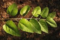 Image of Guazuma ulmifolia