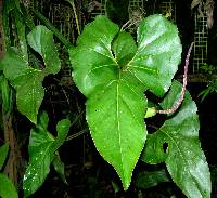 Anthurium brownii image