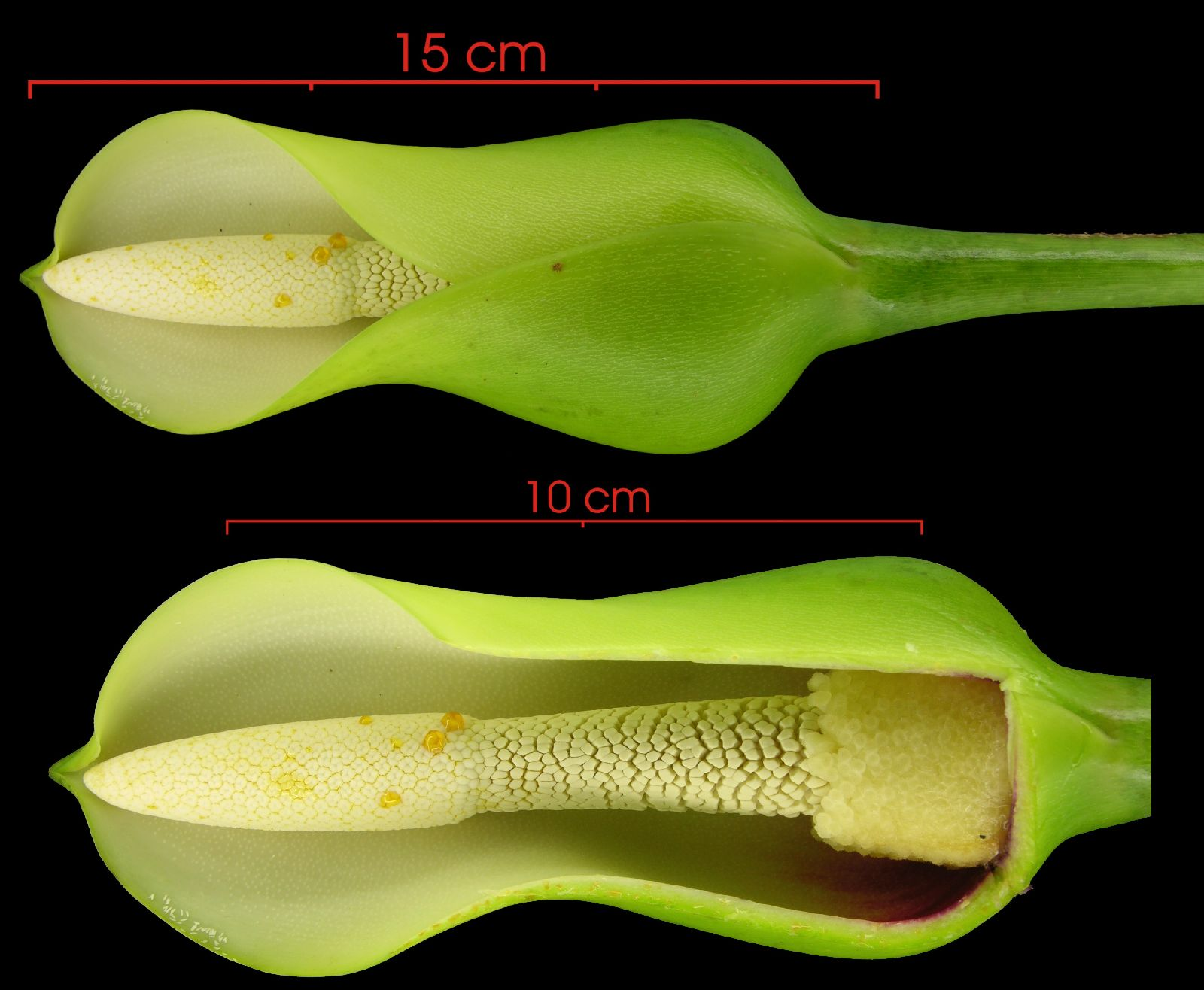 Philodendron jacquinii image