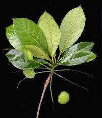 Image of Terminalia oblonga