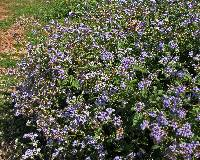 Image of Ageratum conyzoides