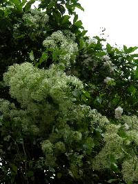 Image of Clematis acapulcensis