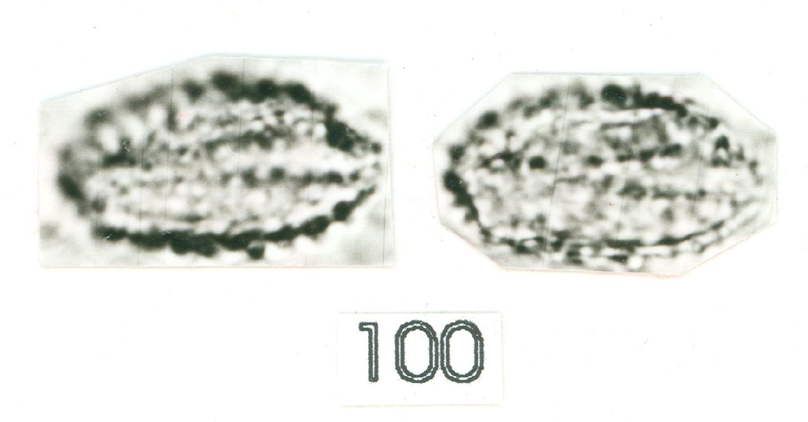 Anthurium flexile image