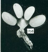 Image of Epidendrum difforme
