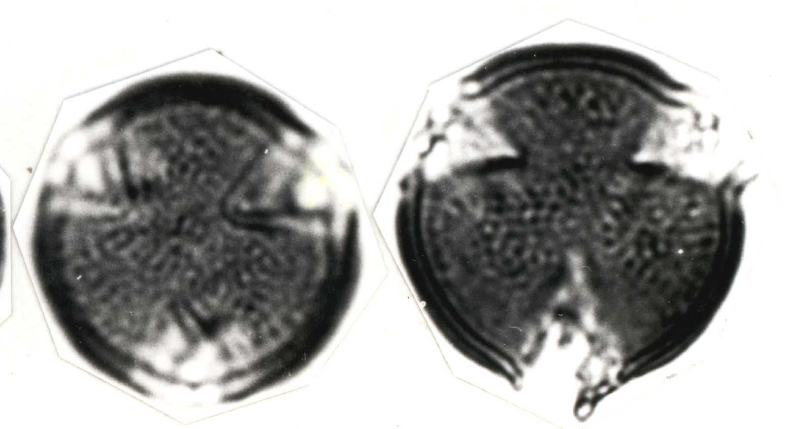 Tetracera volubilis image