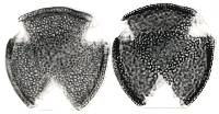 Image of Psychotria chagrensis