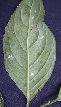 Calatola costaricensis image