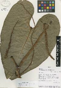 Image of Philodendron grayumii