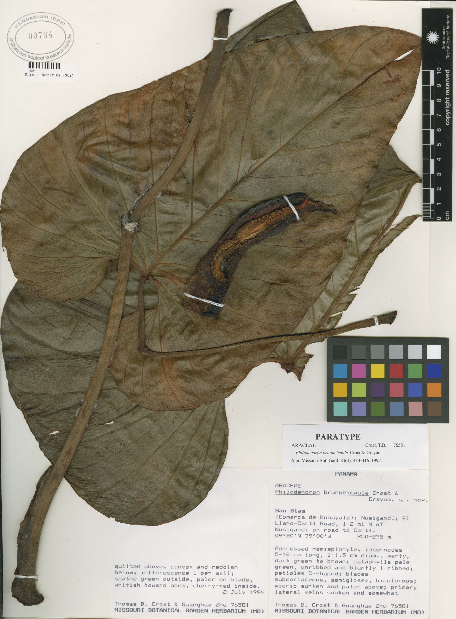 Philodendron brunneicaule image