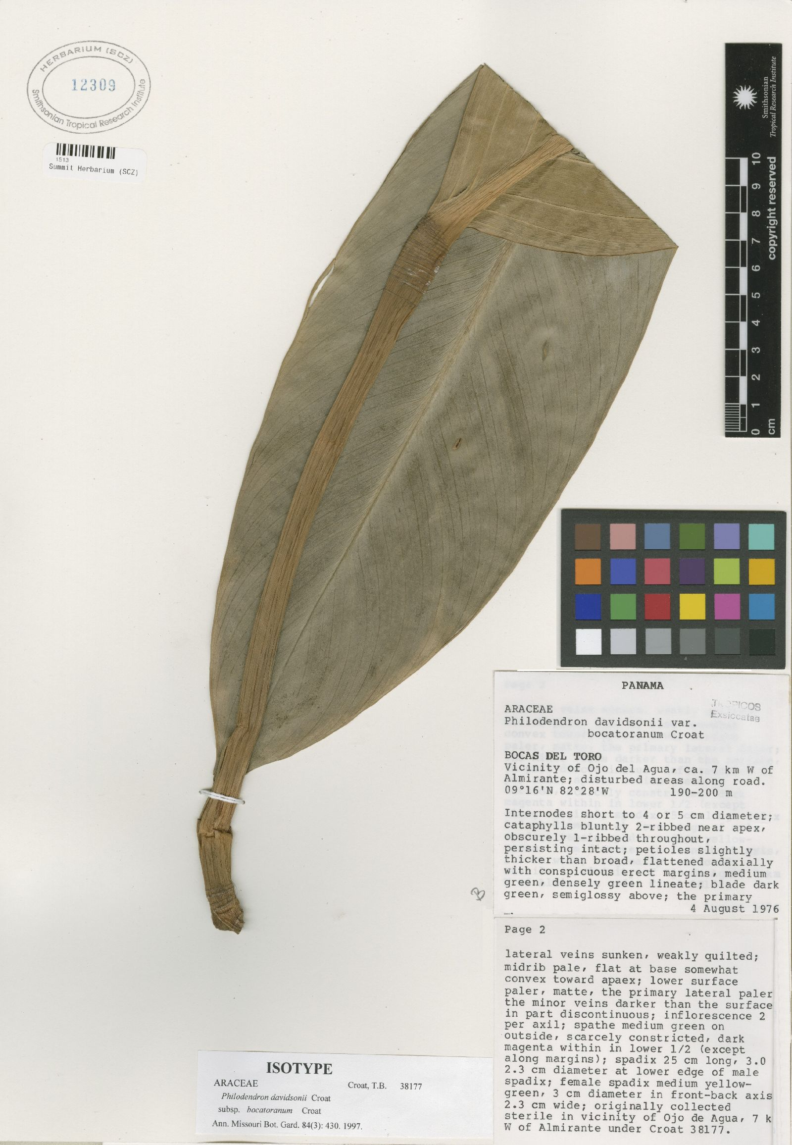 Philodendron davidsonii image