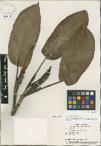 Image of Philodendron immixtum